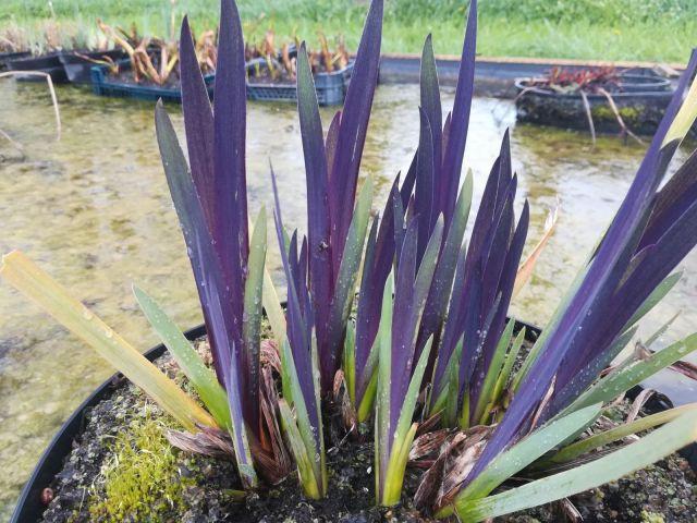 Iris versicolor 'Dark Aura'