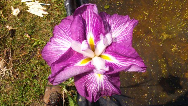 Iris ensata 'Harlequinesque'