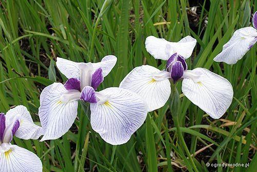 Iris ensata 'Fortune' 2 litres