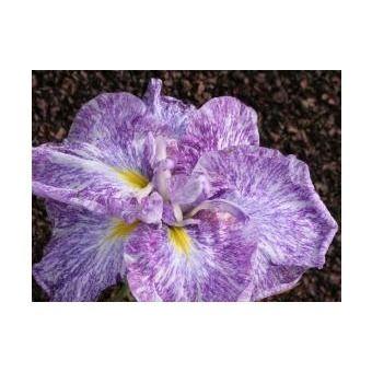 Iris ensata 'Ideal'