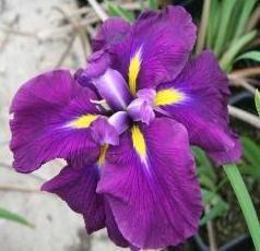Iris ensata 'Ruby King' 2 litres