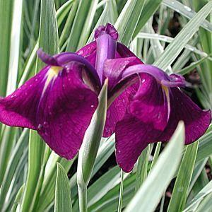 Iris ensata 'Variegata' 2 Litres