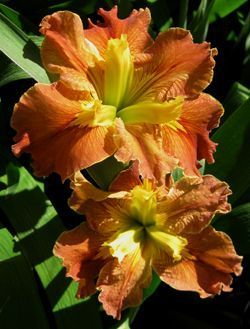 Iris louisiana « Hot and Spicy »