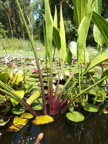 Sagittaria lancifolia 'Ruminoïdes' 3 litres