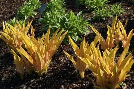 Eucomis « Glow Sticks »