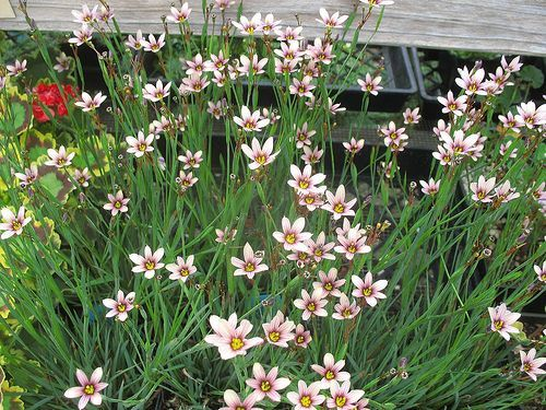Sisyrinchium 'Quaint and Queer'
