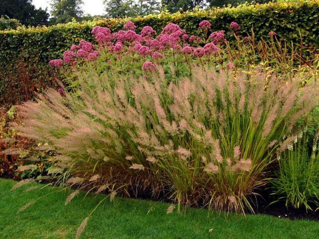 Calamagrostis brachytricha 2 litres