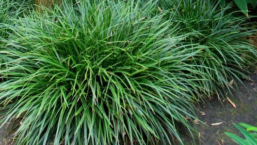 Carex foliosissima « Irish Green »