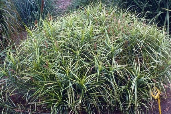 Carex muskigumensis 'Silberstreif'
