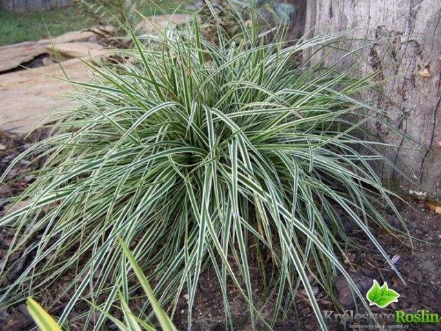 Carex oshimensis « Everest »