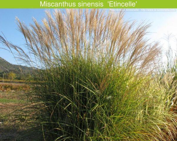 Miscanthus sinensis 'Etincelle'