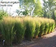 Panicum virgatum 'North Wind' 2 litres