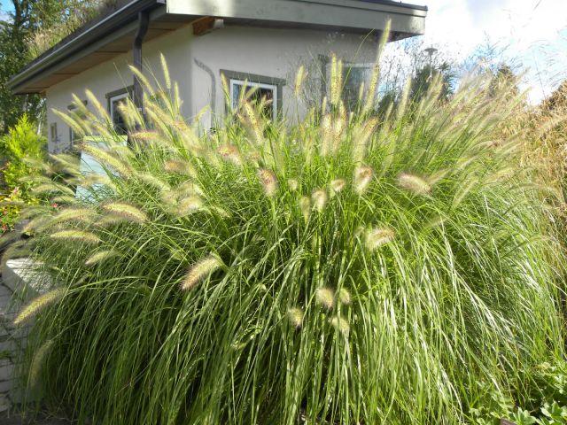 Pennisetum alopecuroïdes 'Paul's Giant' 2 litres