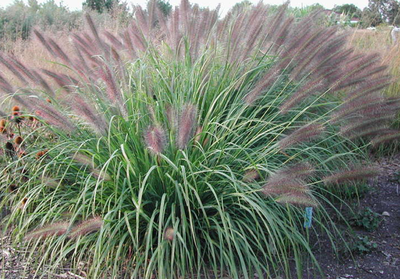 Pennisetum alopecuroïdes 'Red Head'