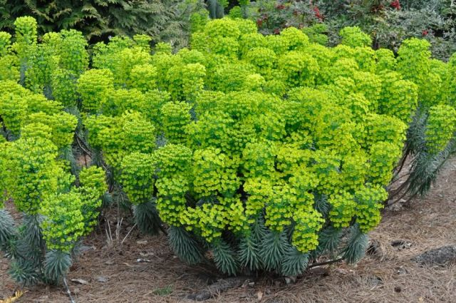 Euphorbia wulfenii 'Shorty' 2 litres