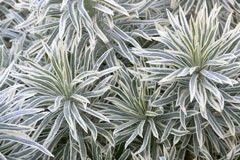Euphorbia characias 'Tasmanian Tiger' 2 litres