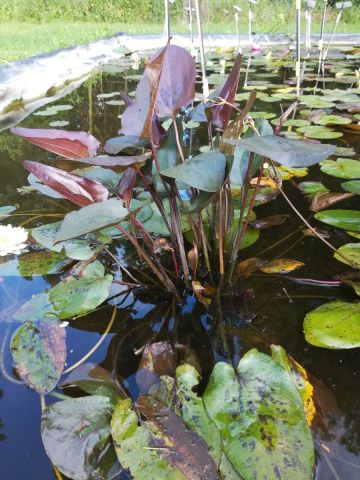 Echinodorus 'Indian Summer'