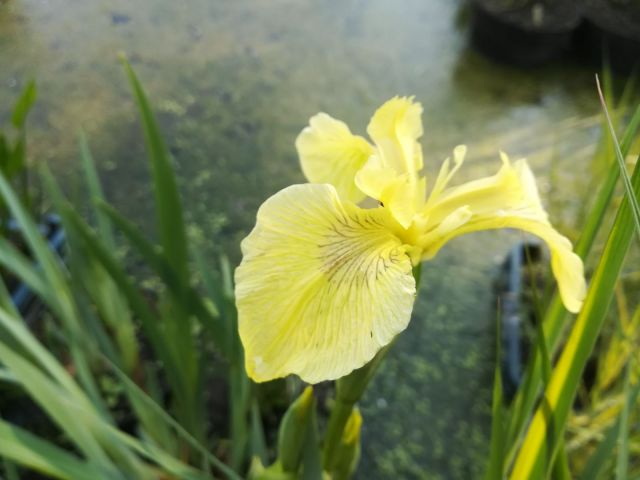 Iris pseudacorus 'Golden Queen'