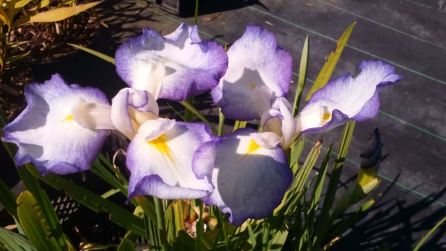 Iris ensata 'Gracieuse'