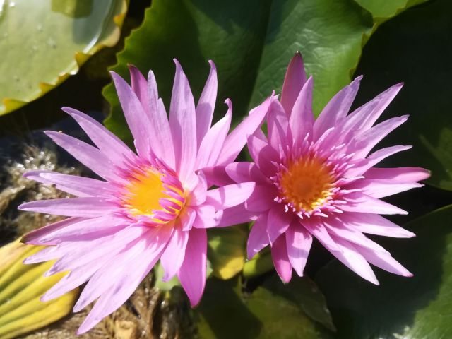 Pink Capensis