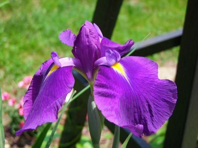 Iris ensata 'Royal Banner' 2 Litres