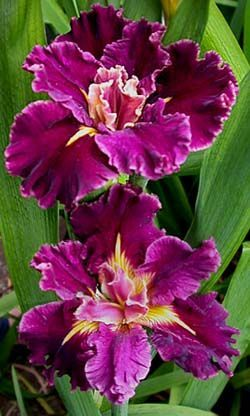 Iris louisiana 'Garnet Storm Dancer'