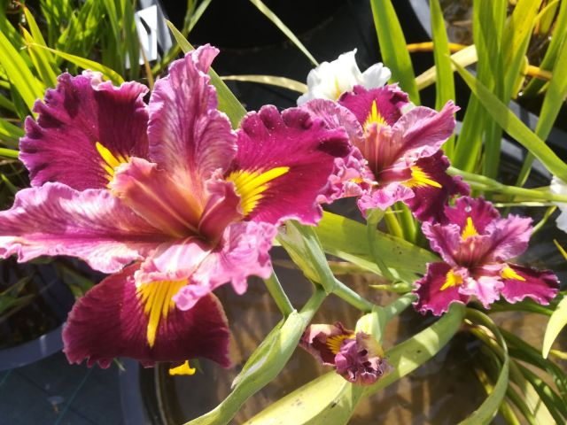 Iris louisiana 'Word of Warning'