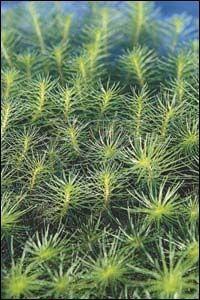 Myriophyllum propium