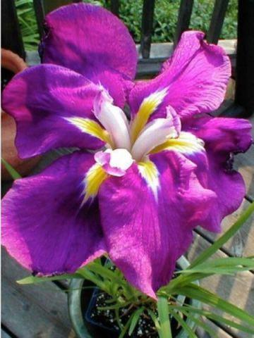 Iris ensata 'Sensation' 1 litre