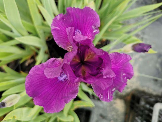 Iris pumila 'Nambe'