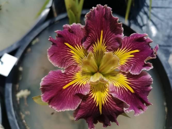 Iris louisiana 'Extra Dazzle'