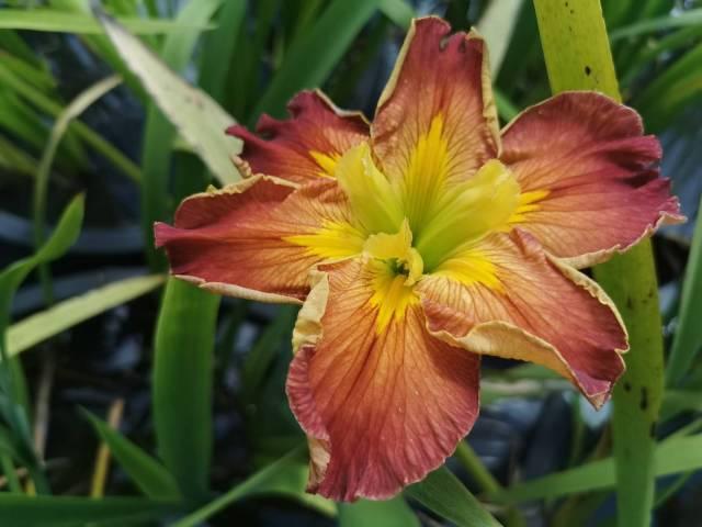 Iris louisiana 'Hot and Spicy'