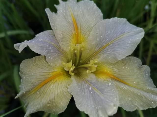 Iris louisiana 'Nutcote'