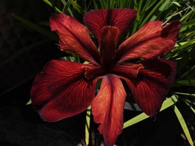 Iris louisiana 'Red Echo'