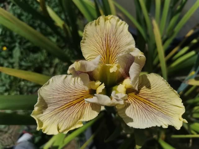 Iris louisiana 'Wow Factor'
