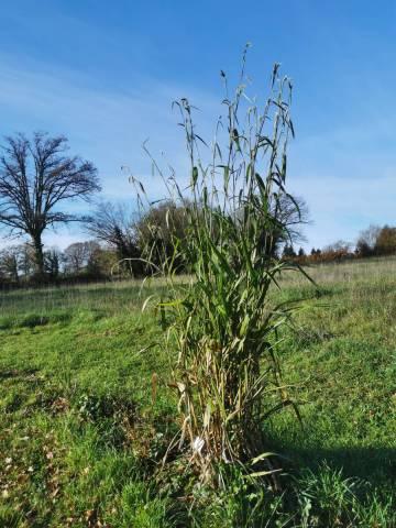Pennisetum latifolium 2 litres