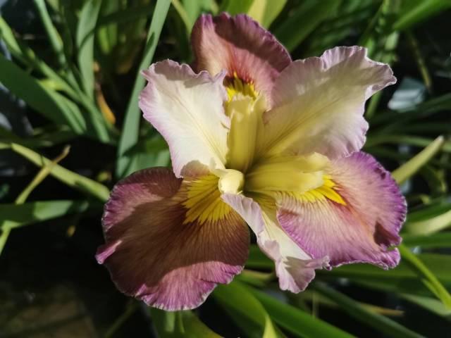 Iris louisiana 'Summer Symphony'