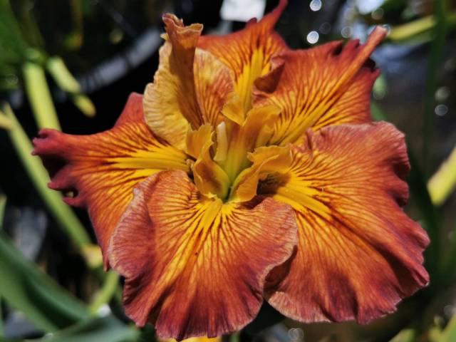 Iris louisiana 'Better Believe It'