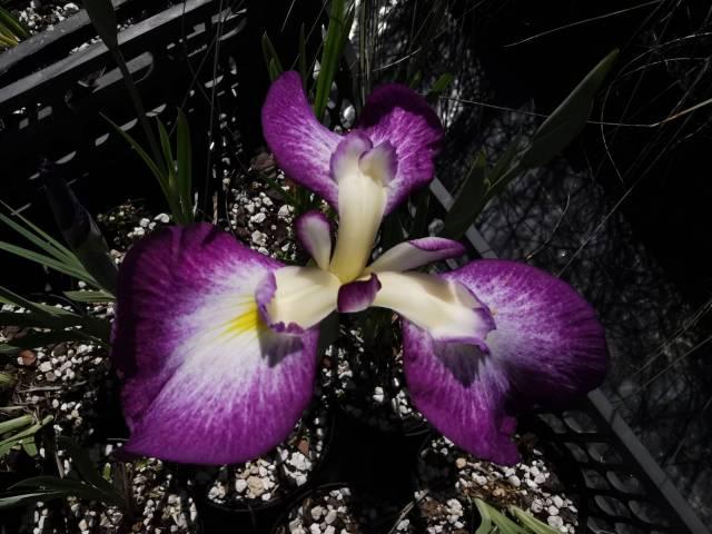 Iris ensata 'Himatsuri' 1 litre