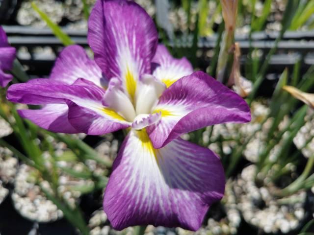 Iris ensata 'Illumination' 1 litre