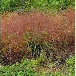 Eragrostis spectabilis 2 litres
