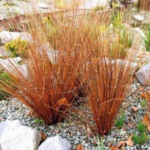 Carex buchanani 'Firefox'