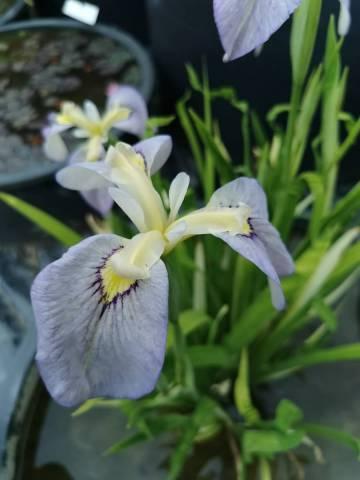 Iris pseudata 'Tsukiyono'