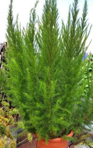Eupatorium capillifolium 'Elegant Plume' 2 litres