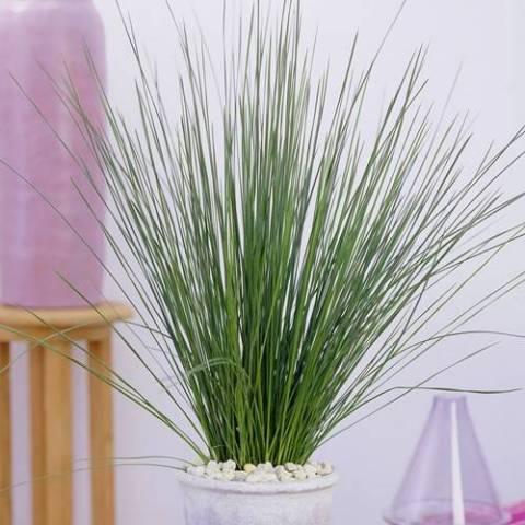 Juncus effusus 'Pencil Grass'